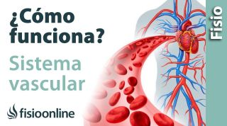 Cómo funcionan las arterias, venas y SISTEMA VASCULAR - Qué hace y cómo lo hace
