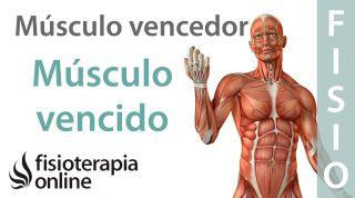 Causas de las lesiones musculares y tendinosas. Desequilibrio muscular vencedor&vencido.