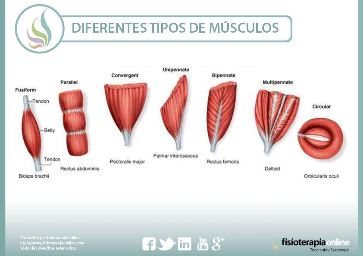 tipos de musculos segun su forma