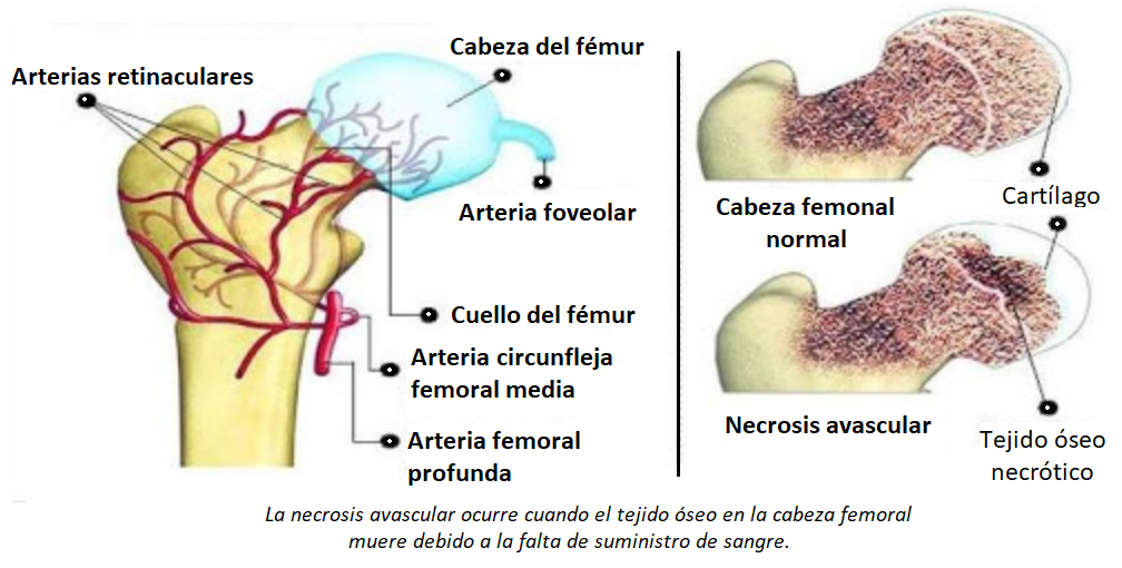 vascularización del fémur