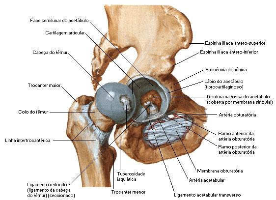 Anatomía de la articulación de la cadera