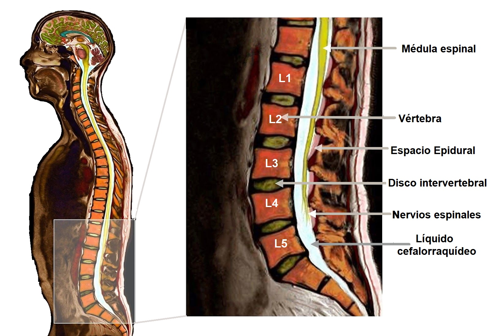 anatomía de la columna lumbar