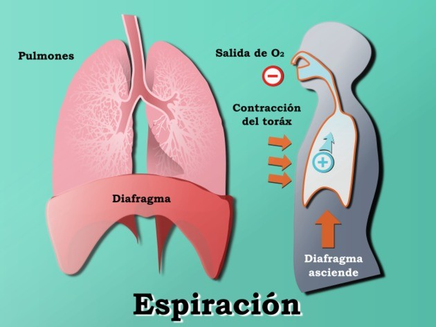 anatomía de la respiración espiración