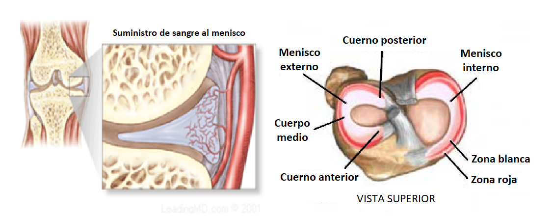 anatomía de los meniscos