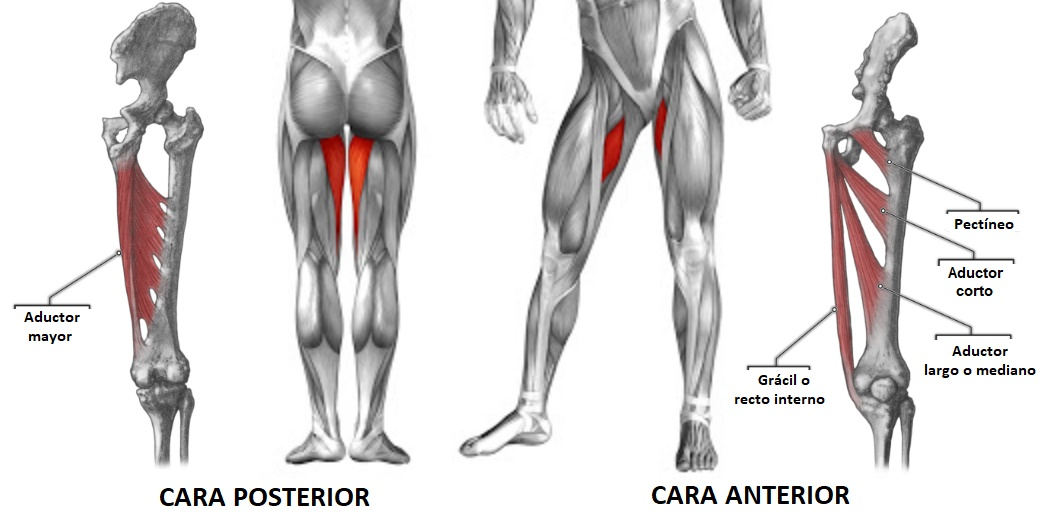 anatomía de los músculos aductores
