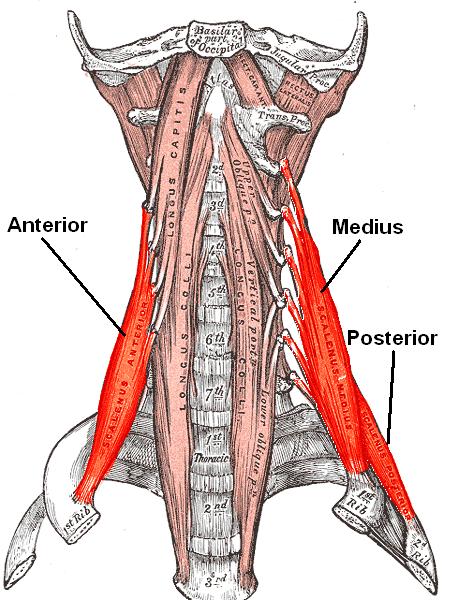anatomía de los músculos escalenos