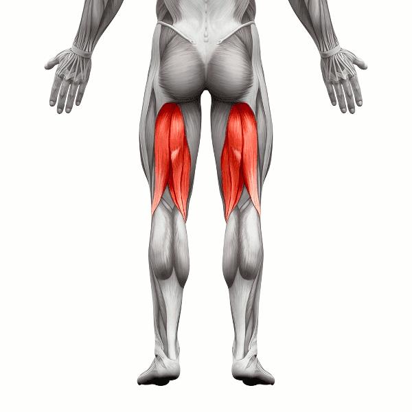 anatomía de los músculos isquiotibiales