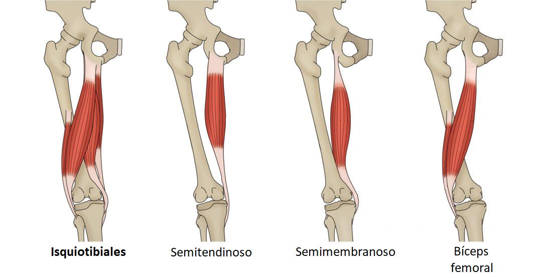 Músculos isquiotibiale