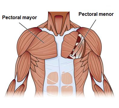 anatomía de los músculos pectorales