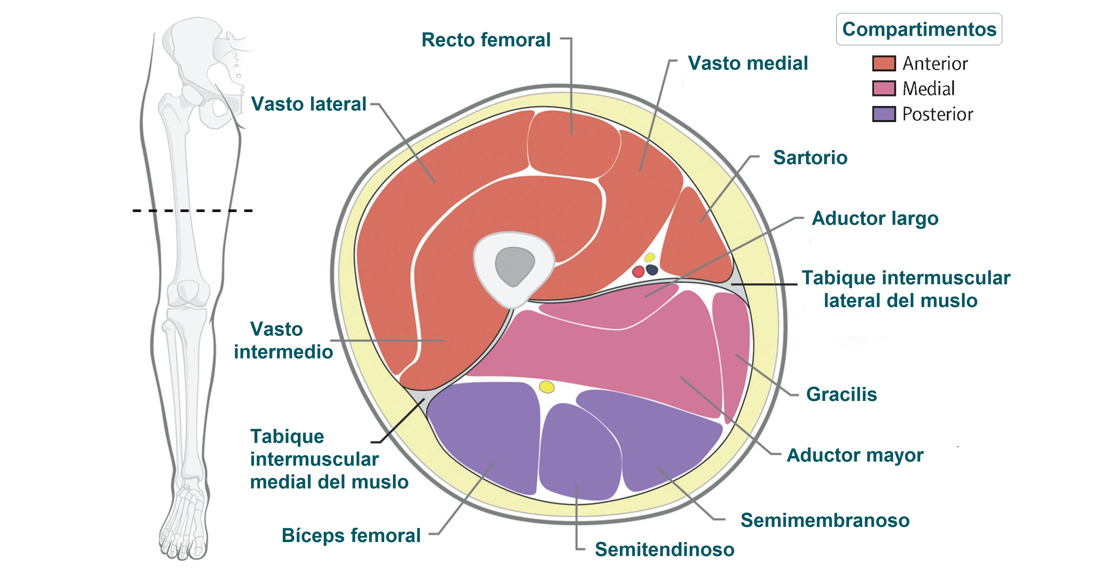 Anatomía del muslo