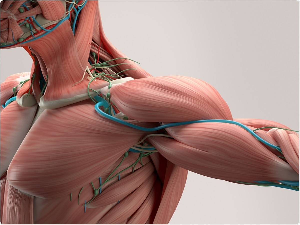 anatomía músculos del hombro