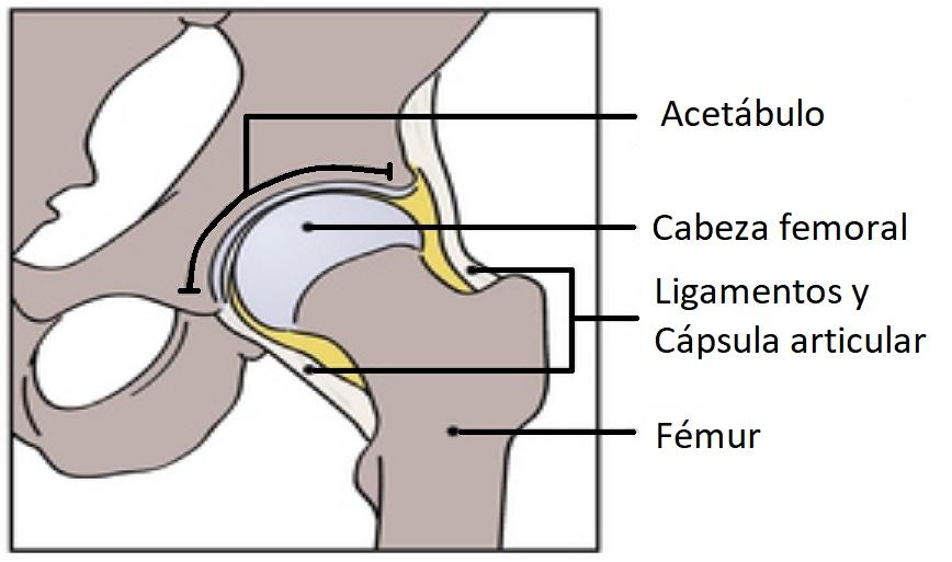 anatomia de la artículacion de la cadera