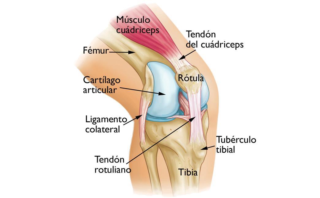 anatomía de la articulación de rodilla