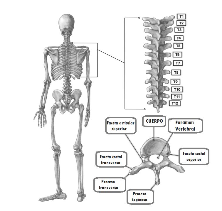 columna dorsal o torácica