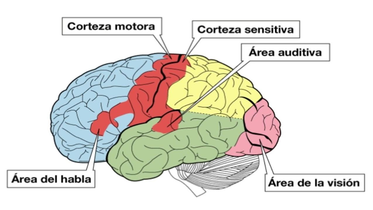 Qué es la corteza cerebral