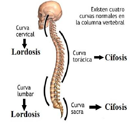 curvaturas fisiológicas de la columna vertebral