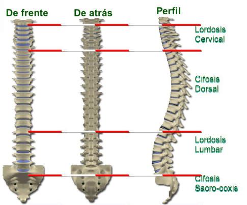 curvaturas normales de la columna vertebral