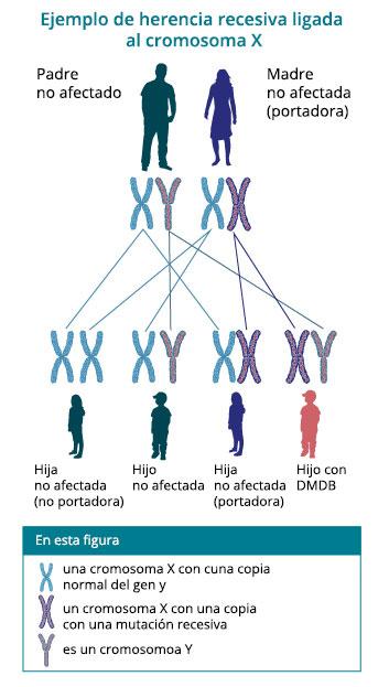 Patrón de herencia de la distrofia muscular de Duchenne