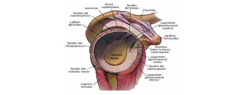 estabilizadores del hombro
