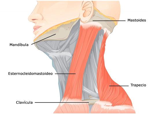 Esternocleidomastoideo y su anatomía