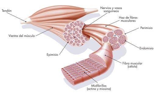 Estructura del músculo