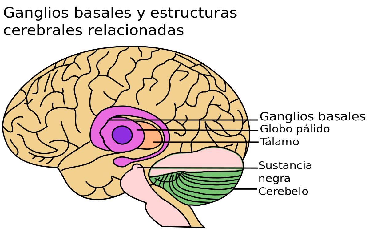 ganglios basales y sus partes