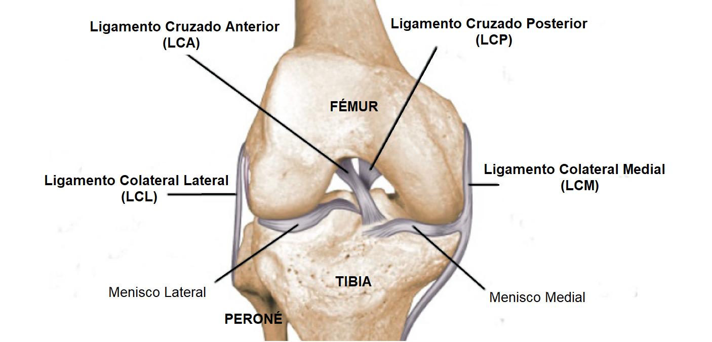 ligamentos de la rodilla