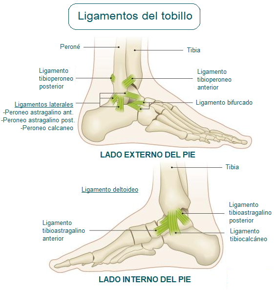 ligamentos del tobillo