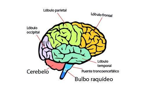 anatomía del sistema nervioso, lóbulos del cerebro