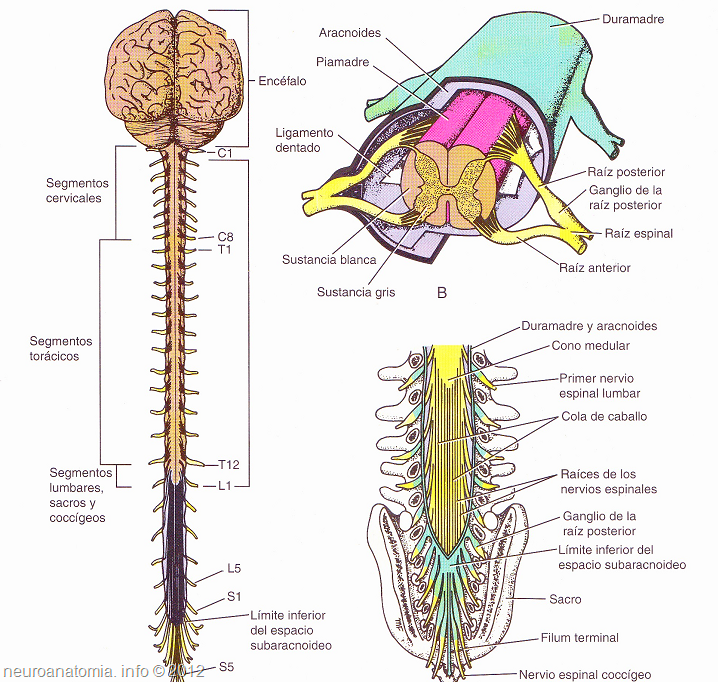 anatomía del sistema nervioso, médula espinal