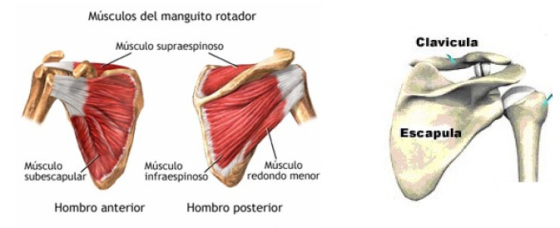 músculos que componen el manguito rotador