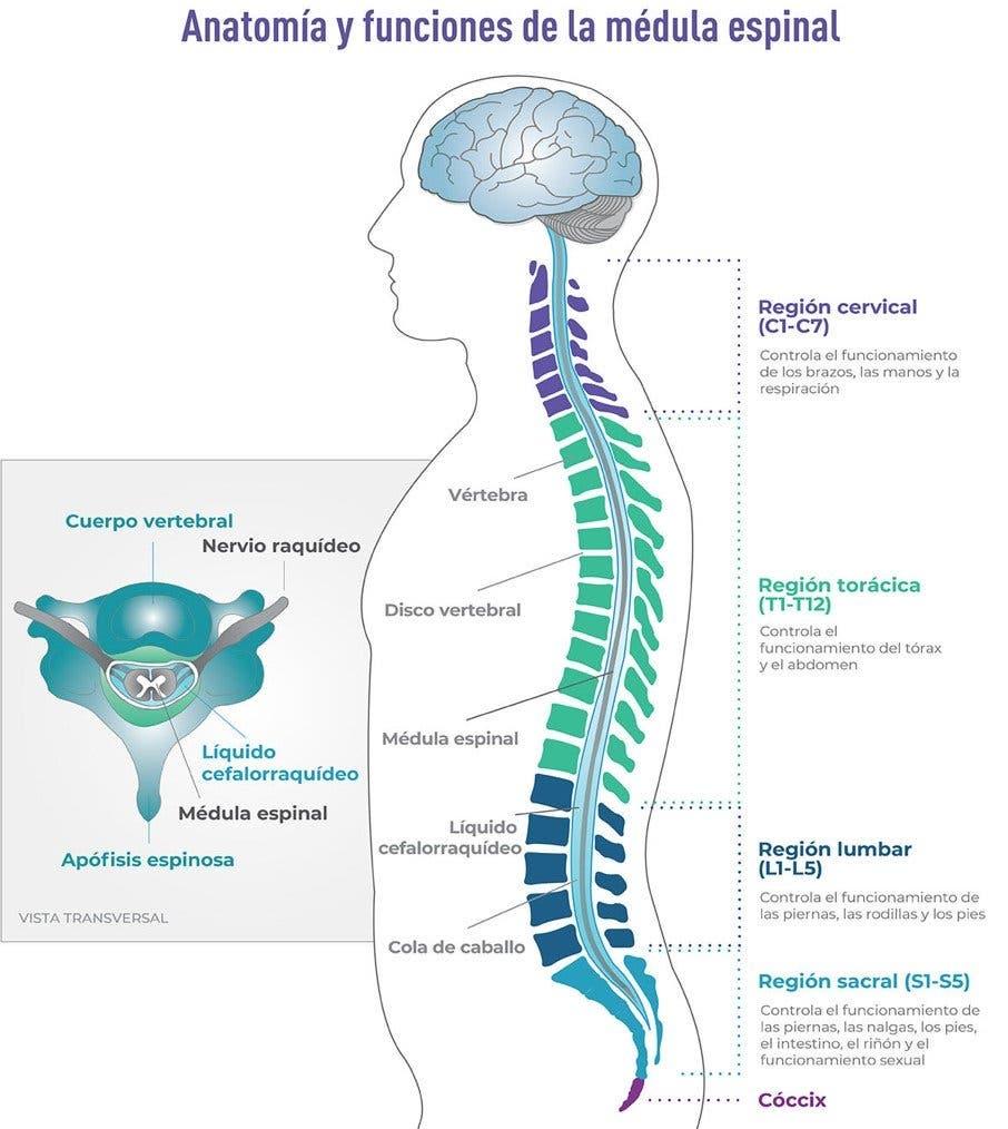 partes de la medula espinal