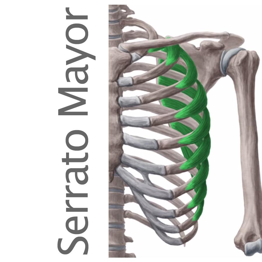 anatomía del serrato mayor o anterior