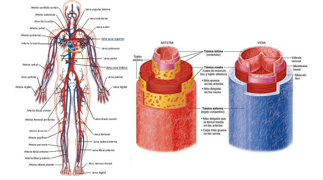 anatomía del sistema venoso