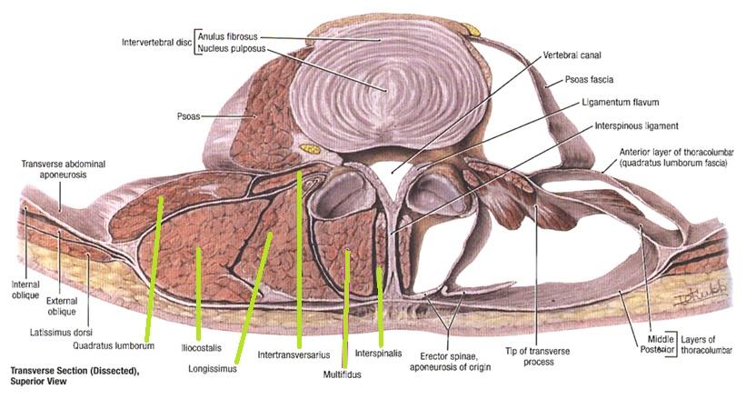 Ejercicio de tonificación para la espalda. (Espinales lumbares ...
