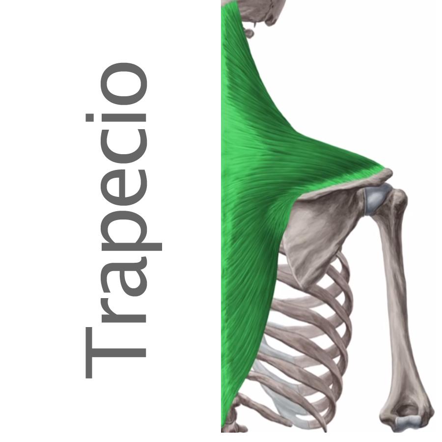 anatomía de los trapecios