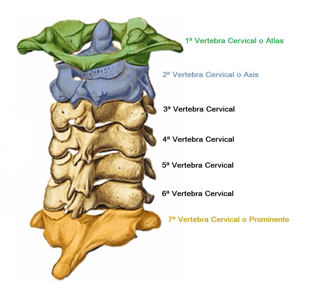 anatomía vértebras cervicales