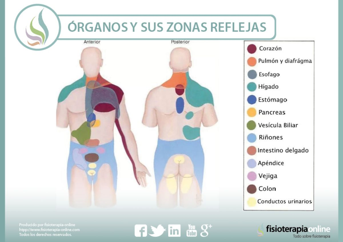 Órganos y sus zonas reflejas
